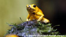 In this Oct. 4, 2018 photo, a golden poison frog is seen inside terrarium at the Biopark La Reserva in Cota, Colombia. According to Ivan Lozano the owner of Biopark this frog is one of the most toxic on the planet. (AP Photo/Fernando Vergara)  