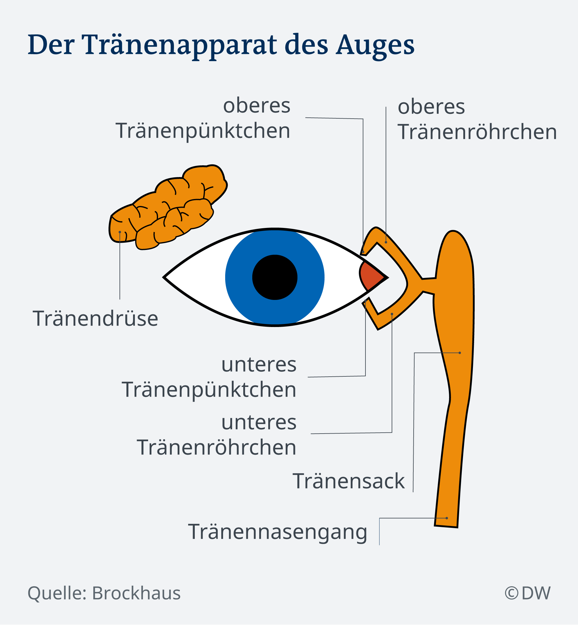 Infografik Tränenapparat des Auges DE