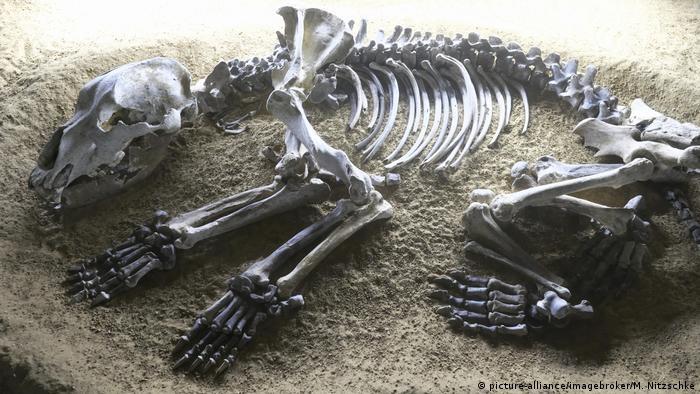 Cave bear skeleton