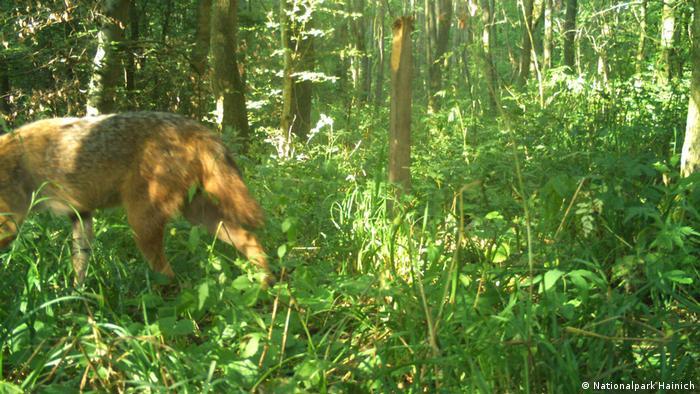Golden jackal caught on camera in eastern Germany