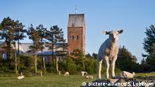 Schafe vor der Kirche St. Laurenti auf Föhr