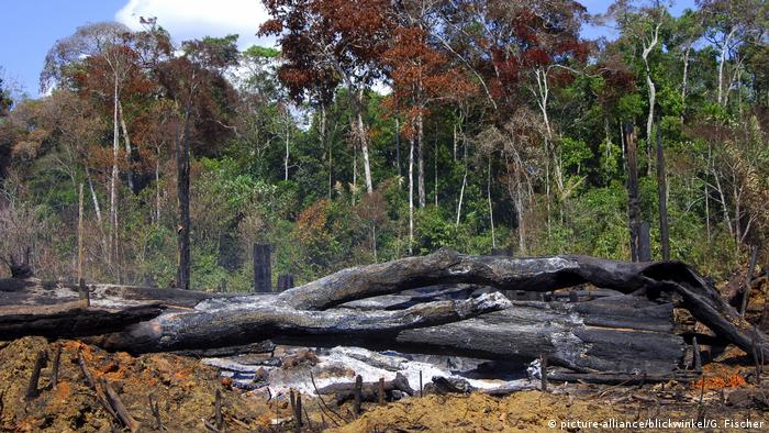 Burned out trees in the Amazon rain forest