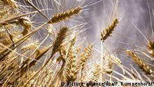 Deutschland Getreidefeld vor der Ernte