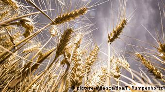 Россия с 1 апреля 2020 года вновь ввела запрет на экспорт пшеницы