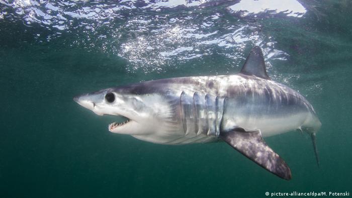 Mako shark swimming in Atlantic