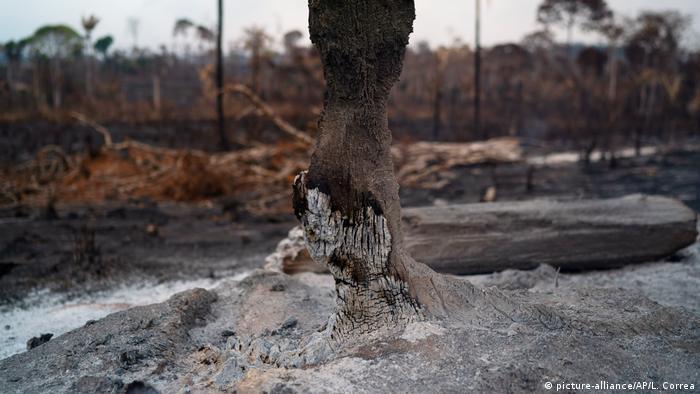 Una vista de cerca de los restos carbonizados de un árbol después de los incendios forestales de la Amazonía