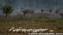 Rinder weiden auf Rodungsflächen im brasilianischen Amazonas-Gebiet