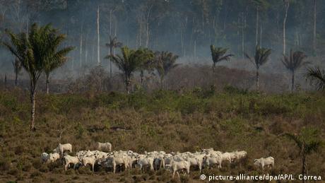 Gado em fazenda na Amazônia