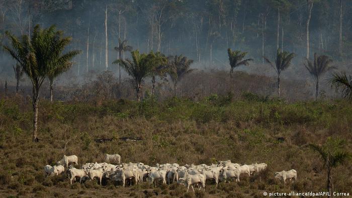 Крупный рогатый скот рядом с лесом, откуда идет дым