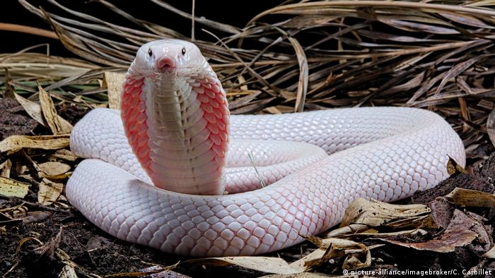 An albino monocled cobra with its hood open