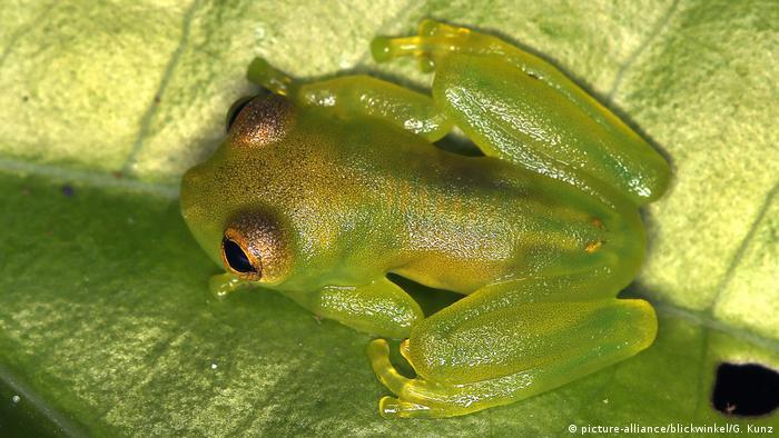 Glasfrosch, Glas-Frosch, Centrolenidae, Glass frog