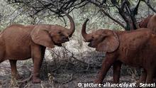 dpatopbilder - 28.08.2019, Kenia, Nairobi: Zwei junge Elefanten spielen im David Sheldrick Wildlife Trust. Die bekannte Tierschutzorganisation David Sheldrick Wildlife Trust, rettet Elefantenbabys in der Wildnis zieht sie auf und wildert sie wieder aus. Der Export von Elefanten aus vier Ländern Afrikas für Zoos und Zirkusse ist nun verboten. Die Vollversammlung der Artenschutzkonferenz in Genf bestätigte am Dienstag (27.08.2019) einen Beschluss aus der vergangenen Woche. Das Verbot betrifft nach Darstellung der Tierschutzorganisation Pro Wildlife vor allem den Handel mit Elefanten aus Simbabwe nach China. Zu den Ländern mit spezifischem Exportstopp gehören auch Botsuana, Namibia und Südafrika. Die Ausfuhr in natürliche Lebensräume ist weiter möglich. Foto: Khalil Senosi/AP/dpa +++ dpa-Bildfunk +++ |