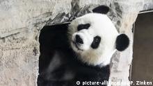 Deutschland Panda-Dame Meng Meng im Zoo Berlin