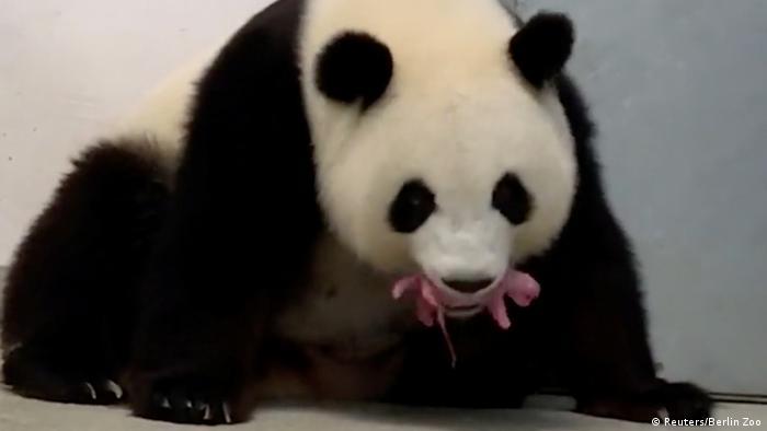 Панда-мама Мэн Мэн с одним из своих малышей