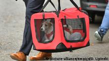 UK | Downing Street dog - Jack-Russell-Welpe von Premier Johnson