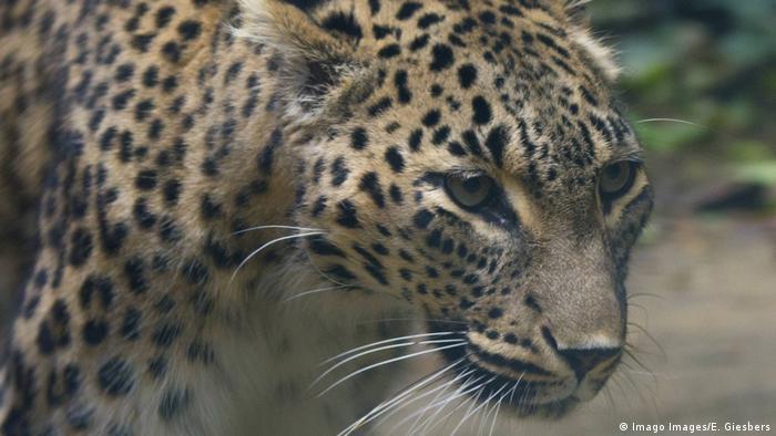 A close-up of a Caucasian leopard