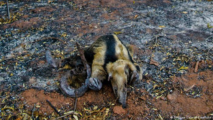 Oso hormiguero quemado por los incendios en la Chiquitania boliviana.