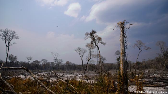 Incendios en la Chiquitania, Bolivia. Árboles chamuscados.