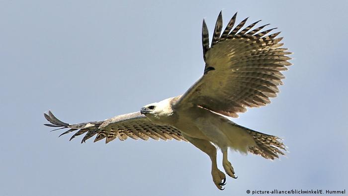 Águila arpía.