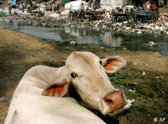 A cow feeds on plastic bags and other garbage along a stream in New Delhi, India (Photo: AP Photo/David Guttenfelder)