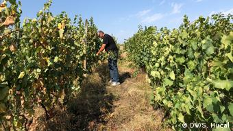 Tour guide David Luashvili pruning in his own small vineyard in the Kakheti wine region