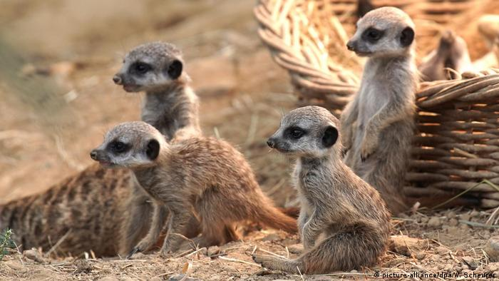 Маленькие сурикаты в Кельнском зоопарке. Сентябрь 2019 года