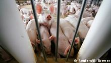 USA Handelsstreit mit China | Schweinefarm in Iowa