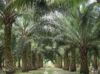 Fileiras de palmas de dendê em plantação na Malásia