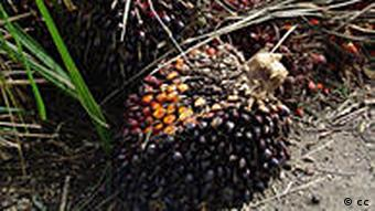 A fruit from an oil palm tree