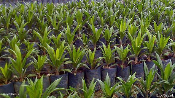 Oil palm plants at a nursery
