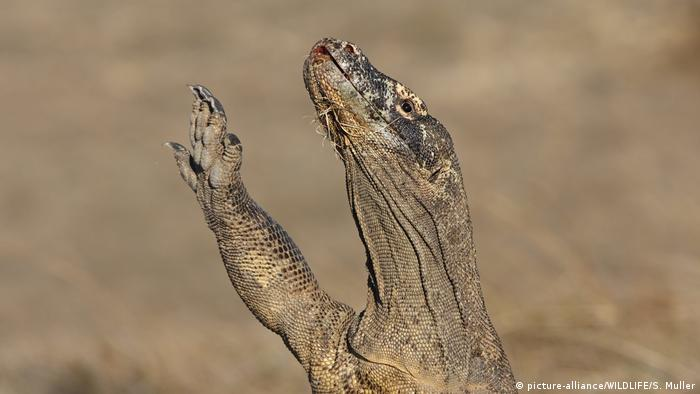 A Komodo dragon stretches one of its front legs upwards