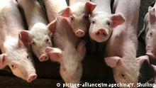 Hogs are pictured at a pig farm (picture-alliance/imagechina/Y. Shuiling)