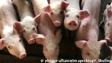 China Afrikanische Schweinepest | Symbolbild Schweine in Shenzhen