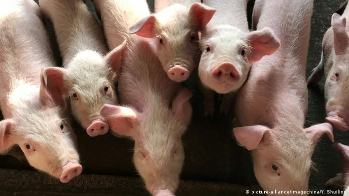 Pigs infected with African swine fever at a slaughterhouse in Shenzhen (picture-alliance/imagechina/Y. Shuiling)