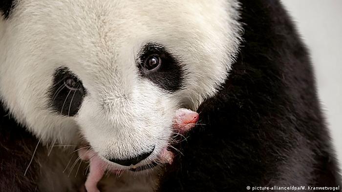 Панды в Берлинском зоопарке