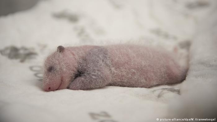 Большие панды в Берлинском зоопарке