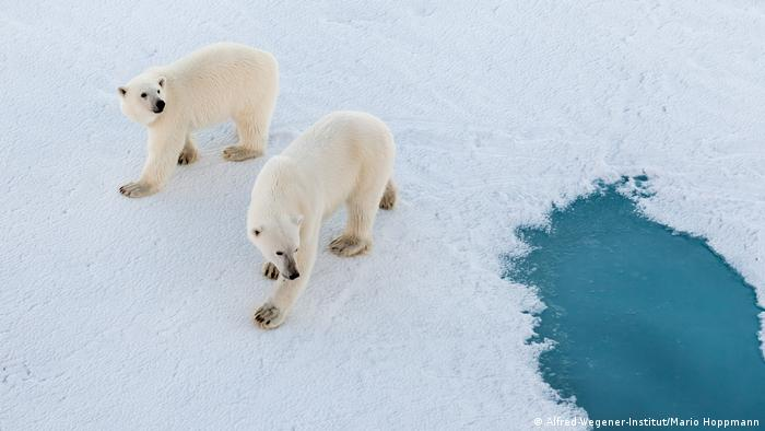 Two polar bears walk across the ice close to a pool of water