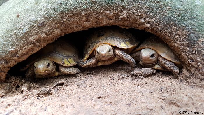 Three small tortoises peeking out from under a rock