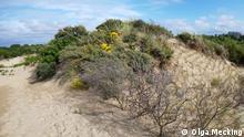 Caption: sand dunes with marram grass, dutch coast credit: Olga Mecking