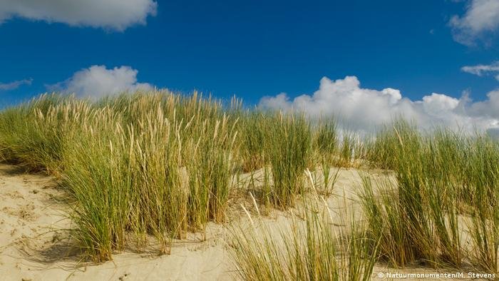 Marram grass growing on the dunes at Voornes in South Holland