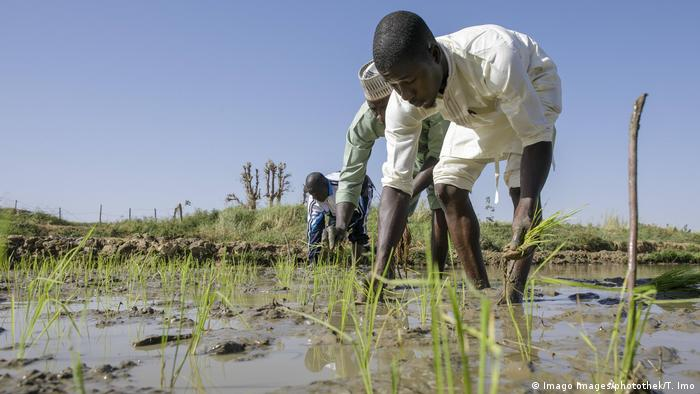 Nigerian farmers plant rice