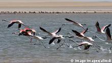 Greater flamingos (Phoenicopterus Roseus) flying, Banc d Arguin National Park, Mauritania, Africa PUBLICATIONxINxGERxSUIxAUTxHUNxONLY 333CSDKY Greater Flamingos Phoenicopterus roseus Flying Banc D National Park Mauritania Africa PUBLICATIONxINxGERxSUIxAUTxHUNxONLY