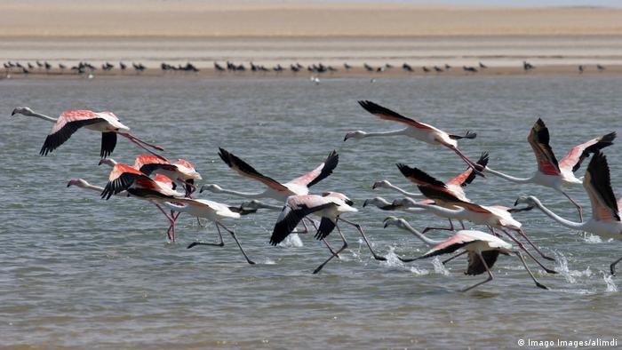 Flamingos taking flight from the beach