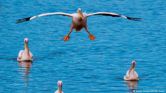 One pelican flies low over the water, where three others are swimming