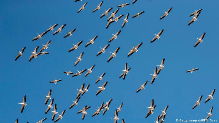 A flock of pelicans in the sky
