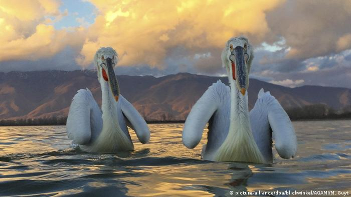 Two Dalmatian pelicans on the sea at sunset.