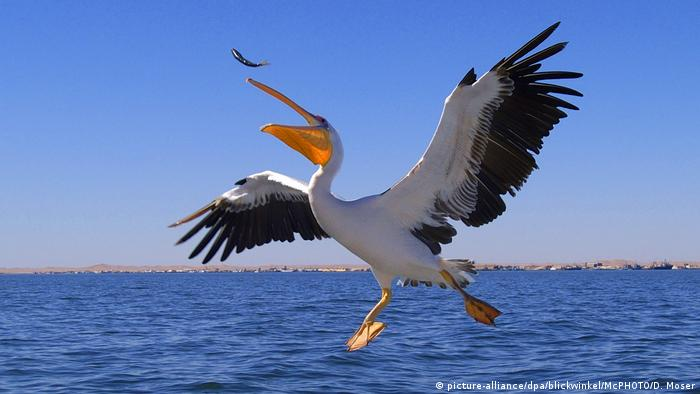 Pelikan in flight, just over the water, beak open, chasing and about to swallow a fish