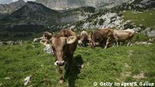 Cows munch grass in the Austrian mountains (Getty Images/S. Gallup)