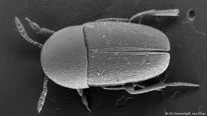 Microscope image of a beetle