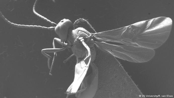 Image of a parasitic wasp seen under a microscope